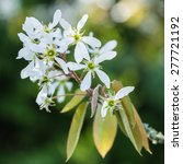 Small photo of A macro shot of the blossom of an amelanchier tree.