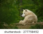 arctic wolf  canis lupus arctos  | Shutterstock . vector #277758452