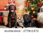New Year Two Labrador Retrieve...
