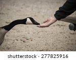 feeding wild goose | Shutterstock . vector #277825916