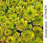 Close Up Of Succulent Carpet...