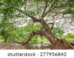 Old Silk Tree Over The Lake In...