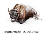 Buffalo In Snow In Yellowstone...