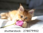 Stock photo little red maine coon kitten playing wirh the flower 278079902