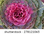 Flowering Cabbages  Closeup ...