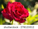 Stock photo fresh red rose in the garden on a green background 278123312