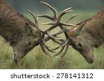 Red Deer Stags Fighting  ...