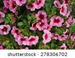 calibrachoa superbells flowers   Shutterstock . vector #278306702