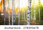 Birch Tree In Forest At Spring...