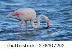 Greater Flamingo Wading In...