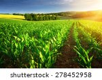 Rows Of Young Corn Plants On A...