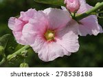 alcea rosea  | Shutterstock . vector #278538188