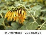 Sunflowers Droop