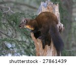 Small photo of American marten