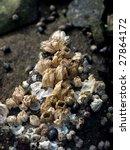 Small photo of Common Acorn Barnacle (Balanus glandula)