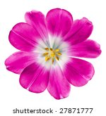 pink tulip isolated on white... | Shutterstock . vector #27871777