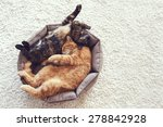 Stock photo couple cats sleep and hugging in their soft cozy bed on a floor carpet 278842928