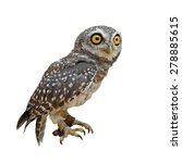 Stock photo spotted owlet or athene brama bird isolated on white background 278885615