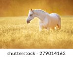 Stock photo white orlov trotter horse in rye golden sunset 279014162