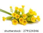 Primrose Flowers  Isolated On...