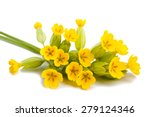 primrose flowers  isolated on... | Shutterstock . vector #279124346