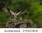 Osprey  Pandion Haliaetus . ...