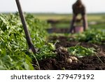 Woman Digging Up Potatoes On A...