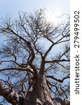 Small photo of majestic old baobab tree (Adansonia digitata)) - Kasane, Botswana