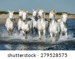White camargue horses galloping ...