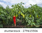 Plantations Of Peppers In The...