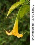 beautiful yellow angel's... | Shutterstock . vector #279753572