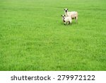 Two Cute Sheep Standing On The...