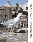 Seagull In Rome  Italy