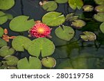 Floating Red Dahlia In A Pond...