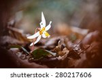 Small photo of Bright white adder's-tongue (Erythronium caucasicum) flower above dark brown fallen leaves in mountain forest of Caucasus