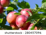 Plum Tree With Delicious Big...