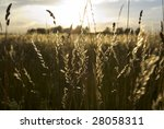 meadow land   backlit stalks of ... | Shutterstock . vector #28058311