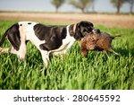 English Pointer Dog Hunted...
