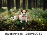Stock photo dog jack russell terrier walks in the park summer 280980752