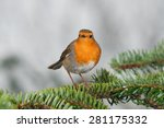 European Robin On A Fir Branch