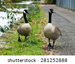 Canada Geese Couple  Walking On ...