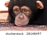 Closeup Of A Chimpanzee Sulkin...