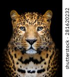 Close Up Leopard Portrait On...