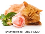Red Cat Smelling A Pink Rose ...