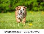 English Bulldog Puppy Running
