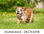 Funny English Bulldog Puppy...