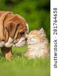 Stock photo english bulldog puppy with a little kitten 281764658