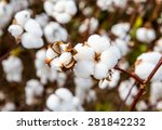 close up of ripe cotton bolls... | Shutterstock . vector #281842232