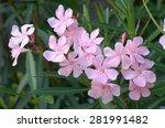 Nerium Oleander Flower  In...