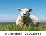 Resting Sheep On A Meadow